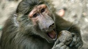 A breakout by around 50 baboons forced a zoo in Paris to shut while wardens restored order