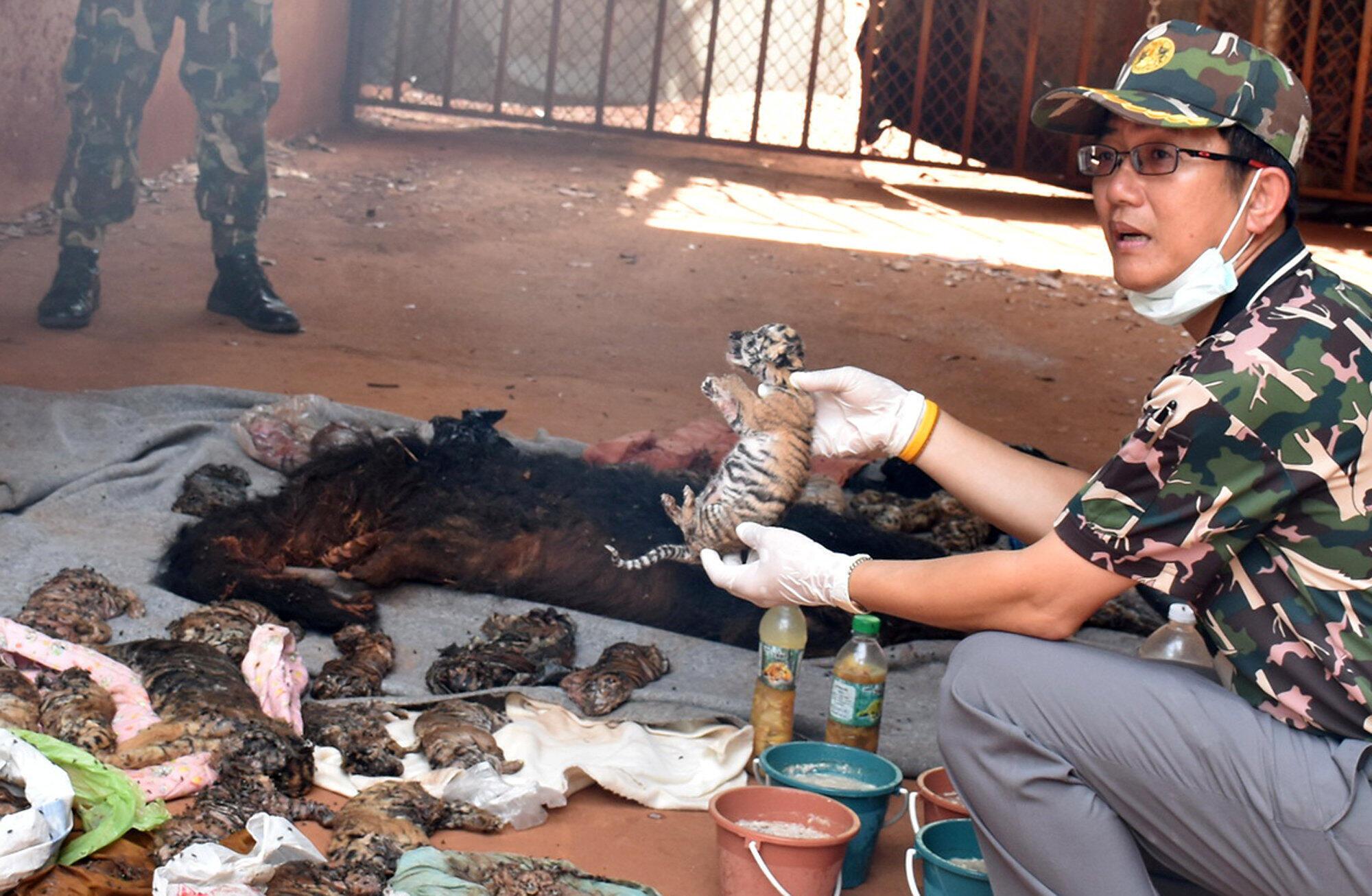 Des dizaines de bébés tigres congelés ont été découverts lors d'une perquisition au temple aux tigres, attraction touristique de Thaïlande qui vient d'être fermée.