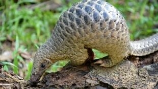 The pangolin, the most trafficked mammal on Earth, is prized for its meat and its unique scales, which are said to have medicinal properties