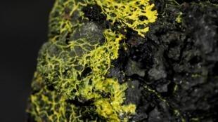 El 'blob' es un organismo primitivo que apareció hace 500 millones de años, antes del reino animal.