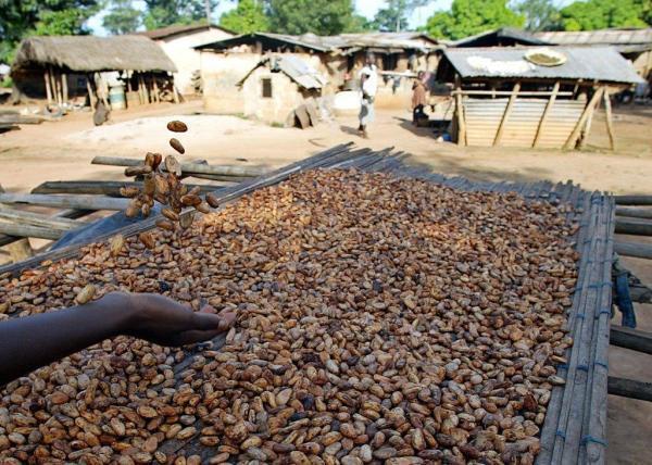 Séchage des féves de cacao