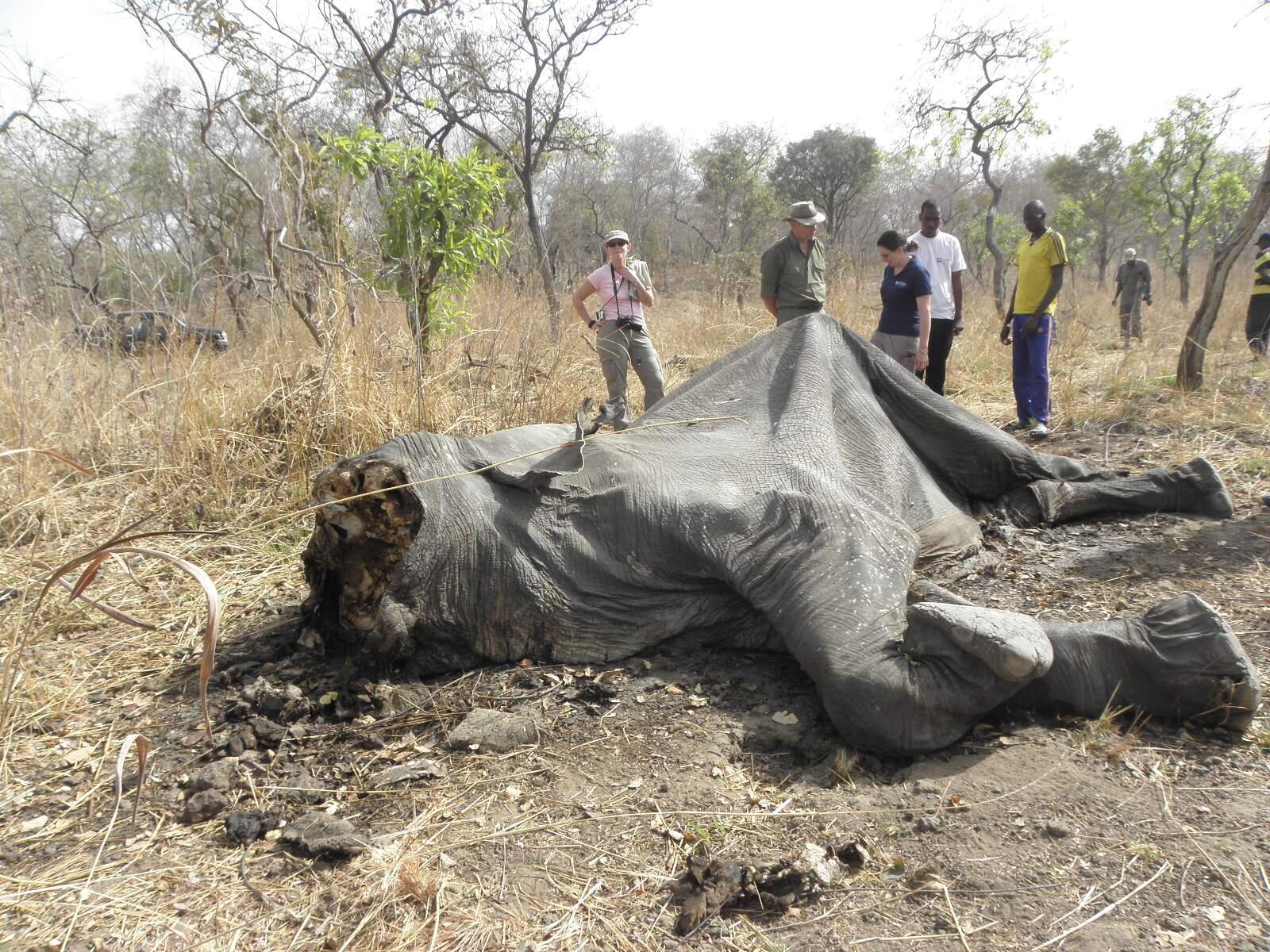 Pour la première fois depuis le début du massacre d'éléphants, une ONG, IFAW (Fonds international pour la protection des animaux) se rend sur place pour établir un état des lieux du désastre.