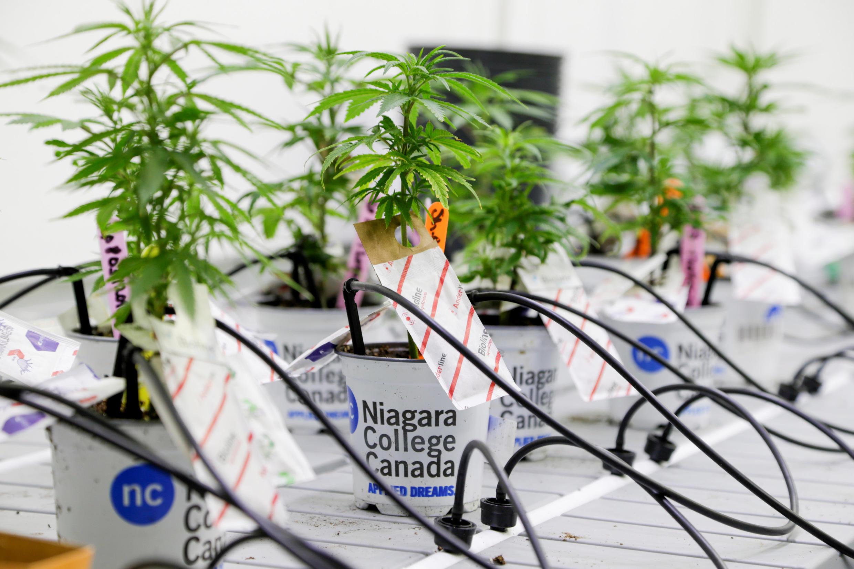 加拿大安大略省尼亚拉加学院实验室培养的商业用大麻品种幼苗。