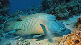 Cheilinus-undulatus-napoleon-poisson