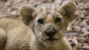 Filhote de leão encontrado em Valenton, no sudeste de Paris, em péssimo estado de saúde.
