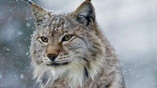 One of the protected lynxes