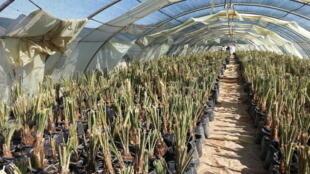 Pépinière de palmiers dattiers dans le village de Bouiya, à 14 kilomètres de la ville de Erfoud, au Maroc.