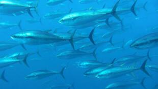 Atum vermelho se reproduz rapidamente.