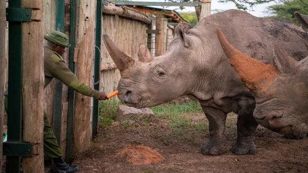 Northern white rhino female, Najin, is comforted by her keeper Zacharia Mutai with small bits of food before the procedure to harvest her eggs.
