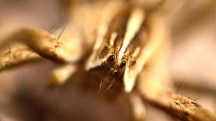 Les araignées sont entièrement recouvertes de poils.