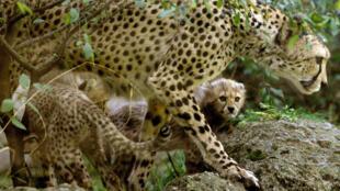 Os guepardos estão ameaçados de extinção
