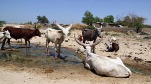 Un troupeau de boeufs au Nigeria, non loin de la frontière avec le Niger et le Tchad.