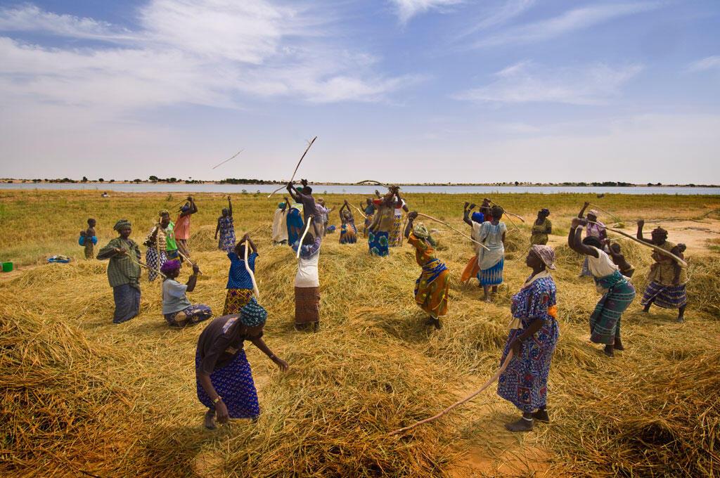 Récolte de riz près de Tombouctou.