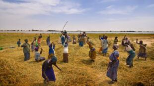 Récolte de riz près de Tombouctou, au Mali.