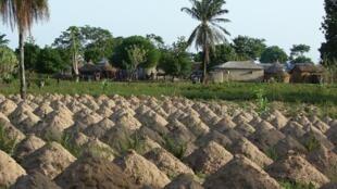 Un champ de manioc au Togo.