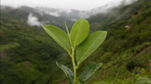El Informe Mundial sobre Drogas 2010 presentado el 23 de junio por la ONU señala que  Colombia ya no es líder  indiscutido en cultivo de coca y ha sido alcanzado por Perú, e incluso superado  según algunos cálculos..