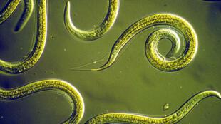 Nemátodos –conocidos vulgarmente como gusanos cilíndricos- especie encontrada en Siberia.