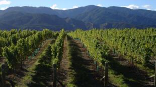 La viticultura francesa consume el 20% de los pesticidas, la mayoría fungicidas.