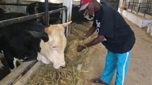 Doudou Sow, éleveur, produit lui-même le fourrage qu'il donne aux animaux. Une manière de lutter contre la saison sèche.
