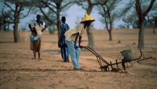 Une plantation d'arachide et de mil à Niakhar, au Sénégal.