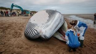 В Бельги на сушу выбросило 18-метрового финвала