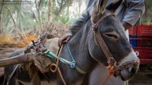 Un âne domestiqué par les Berbères sédentaires de Siwa.