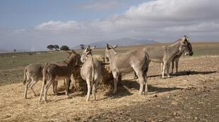 Des ânes se nourrissant dans un champ en Afrique du Sud.