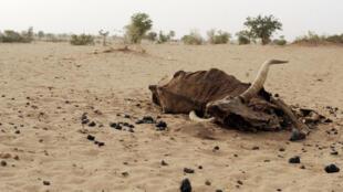 A seca no Sul de angola já causou a morte de mais de 12.000 cabeças de gado