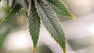 Argentina legaliza o cultivo pessoal e a venda nas farmácias de maconha medicinal.