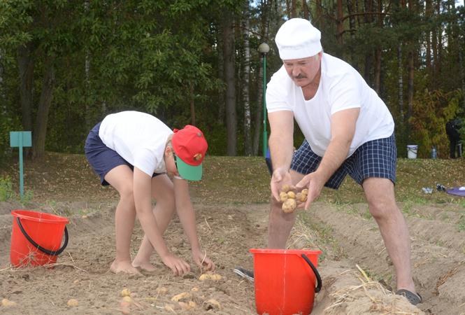 Президент Беларуси Александр Лукашенко вместе с сыном Николаем убирают урожай картофеля на территории официальной резиденции «Дрозды», 16 августа 2015.