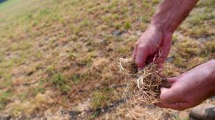 Un agriculteur allemand se désole de la sécheresse de l'herbe de son terrain, près de Cuxhaven, dans le nord.