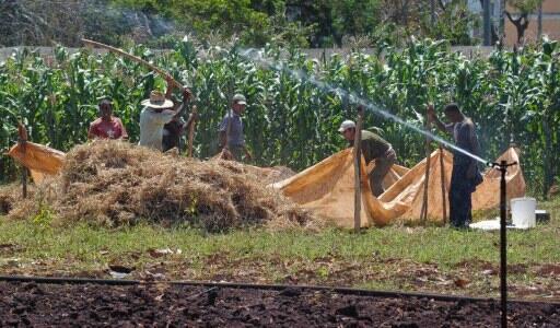 Des paysans au travail dans un champ, à La Havane.