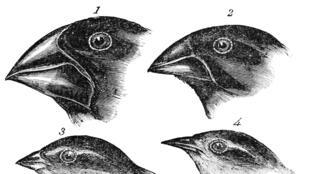 Une illustration de différents spécimens de pinsons réalisée par le célèbre ornithologue John Gould.