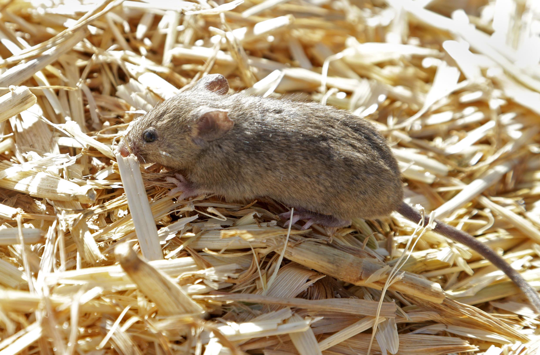 L'est de l'Australie est depuis quelques mois victime d'une invasion de souris qui s'attaquent aux habitations et dévorent les récoltes.