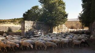 大科斯(Grandes  Causses) 地區國家自然公園的羊群