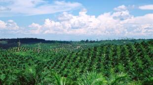 Image d'archive RFI : un champ de palmiers à huile.