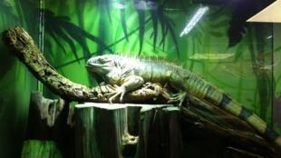 Toto l'iguane. Il fait environ 1,50m de long.
