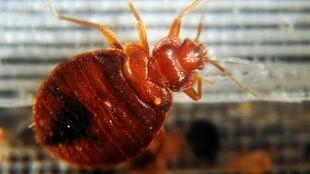 A bedbug captured under a microscope