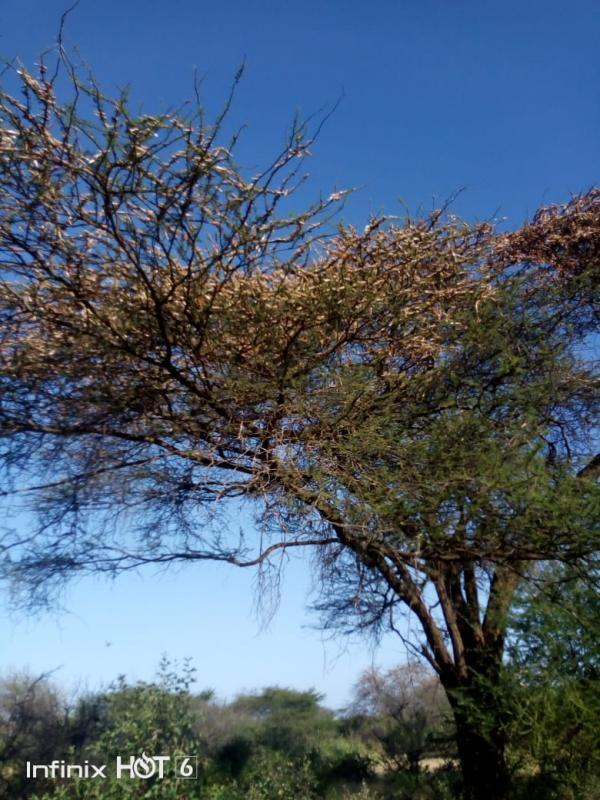 Locusts eating away much of the leaves on this tree in Kenya