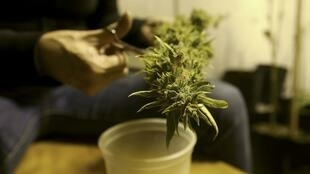 Si la consommation de cannabis a été légalisée en Uruguay, elle est aussi réglementée.