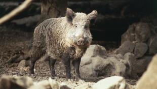 Une chasse massive aux sangliers est ouverte en Lituanie pour arrêter le virus de la peste porcine africaine.