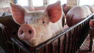 中國非洲豬瘟疫情照片。
