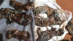 Xác của những con hổ con được cảnh sát phát hiện trong tủ đông lạnh của một ngôi đền Phật giáo, Thái Lan, ngày 01/06/2016.