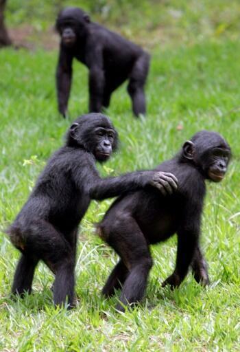 De jeunes singes bonobos, près de Kinshasa.