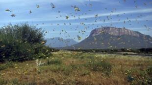 Un essaim de criquets traverse le village de Lerata à 300 km au nord de Nairobi le 22 janvier 2020.