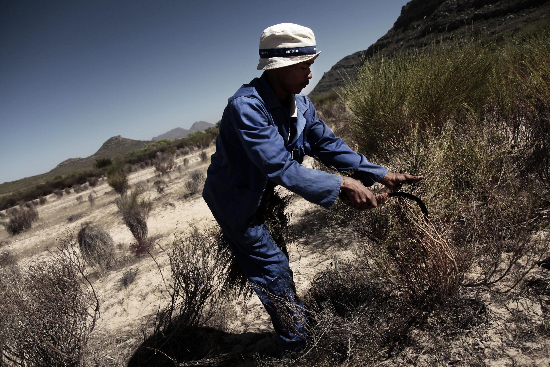 Un fermier  récolte  le rooibos, un thé sans caféïne que seuls les Sud-africains cultivent mais ces derniers craignent que le changement climatique détruisent leur récolte qui devient de plus en plus rare.
