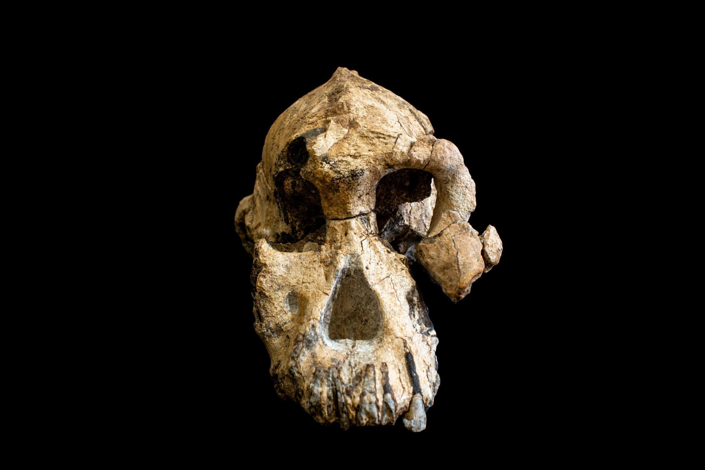 El cráneo de Australopithecus Anamensis descubierto en 2016 en Etiopía.