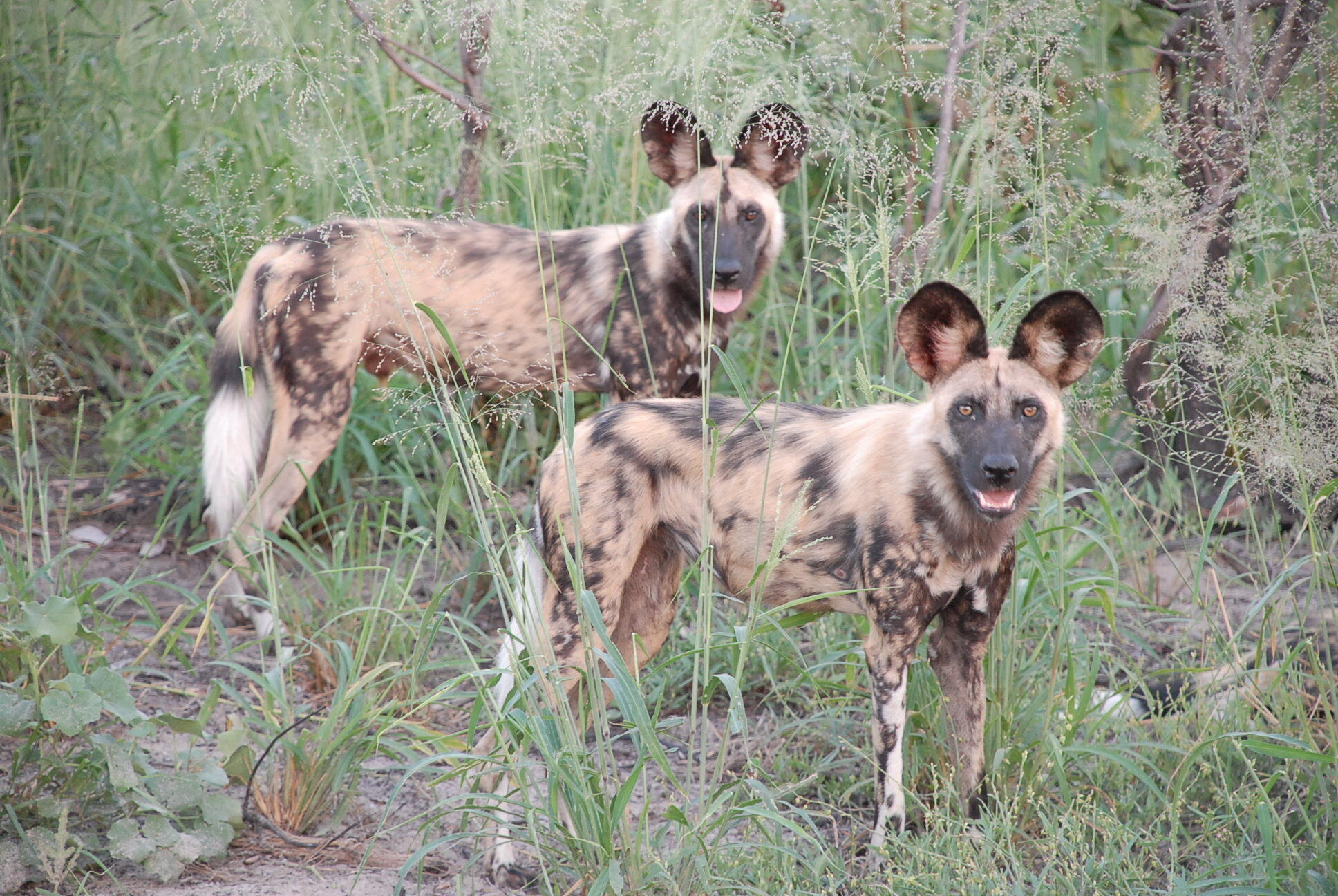 Paying attention: researchers say close monitoring of wild dogs' behaviour could keep them safely away from human activity.