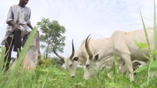 Un berger à Benue au Nigeria.