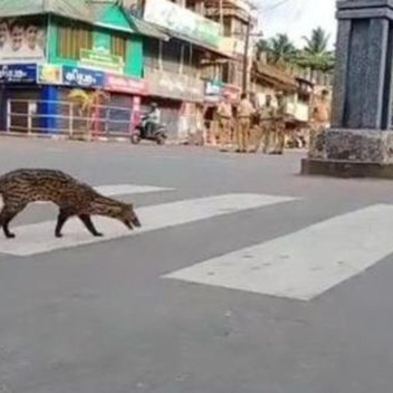 Wild Animals Wander Through Deserted Cities Under Covid 19 Lockdown